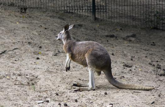 Free Stock Photo of Kangaroo