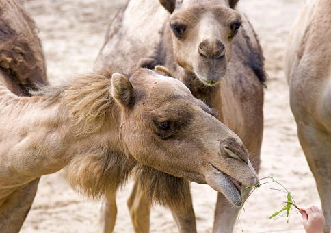 Free Stock Photo of Camels