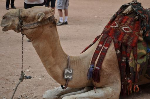 Free Stock Photo of Jordanian camel