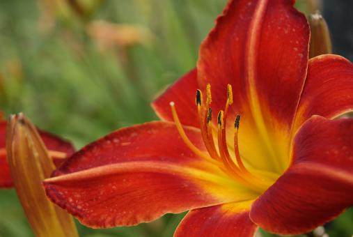 Free Stock Photo of Colorful Lilly