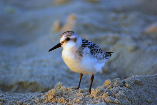 Free Stock Photo of Sandpiper