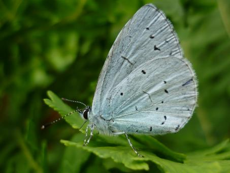 Free Stock Photo of Holly blue butterfly