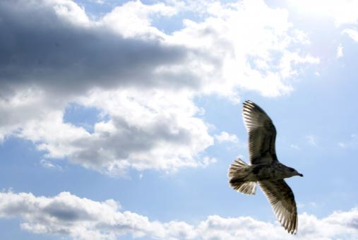 Free Stock Photo of Seagull In Flight 1