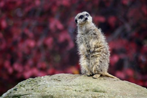 Free Stock Photo of Meerkat