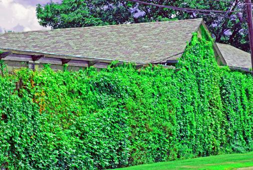 Free Stock Photo of Ivy Wall