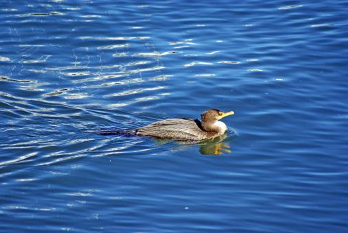 Free Stock Photo of Loon Swimming