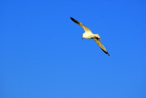 Free Stock Photo of Seagull In Flight