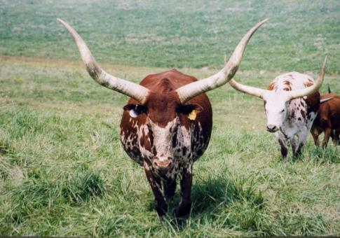 Free Stock Photo of Longhorn