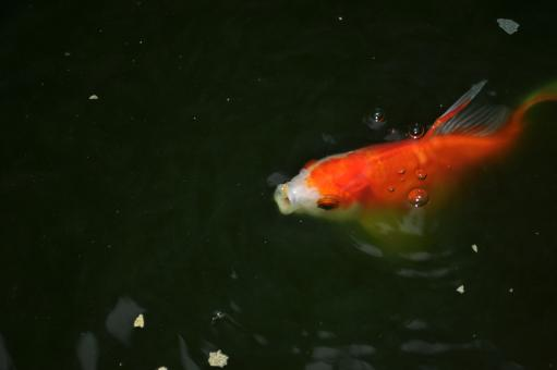 Free Stock Photo of Gold fish in a pond