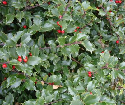 Free Stock Photo of Bush with red berries