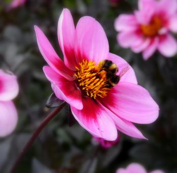 Free Stock Photo of Bee On Flower
