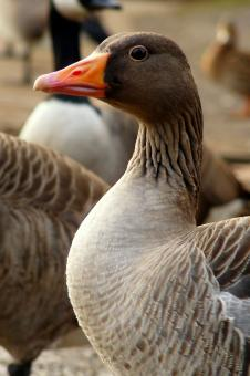 Free Stock Photo of Goose