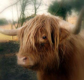 Free Stock Photo of Highland Cow