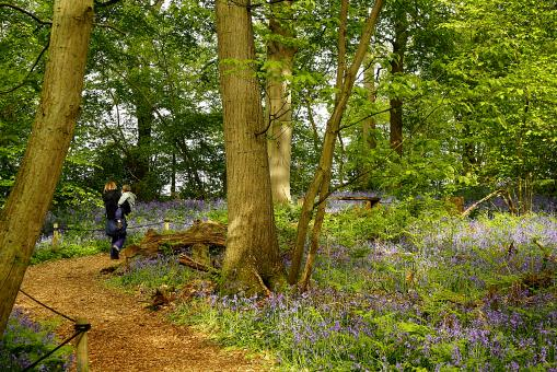 Free Stock Photo of Bluebell walk