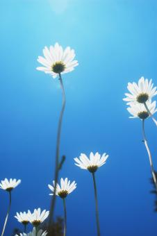 Free Stock Photo of Marguerites