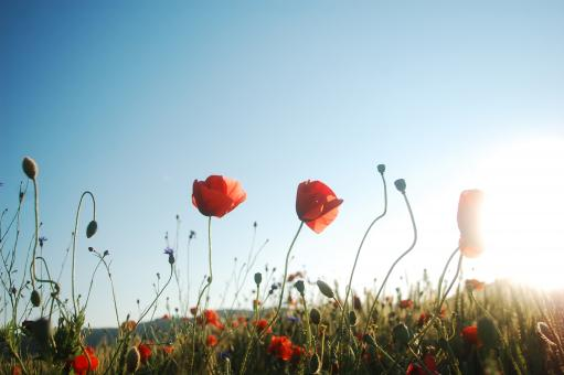 Free Stock Photo of Red poppy meadow