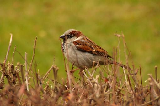Free Stock Photo of House Sparrow