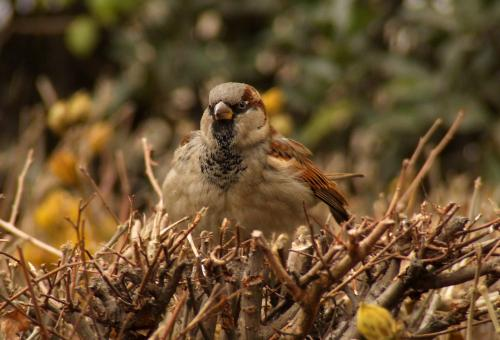 Free Stock Photo of Sparrow