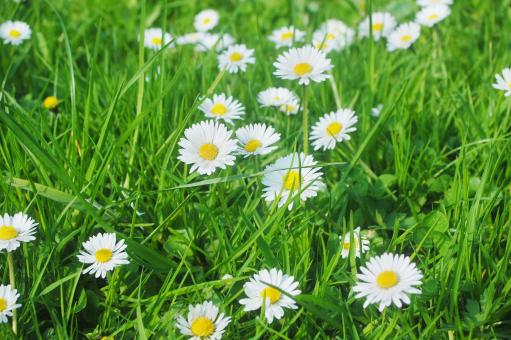 Free Stock Photo of Daisy Meadow