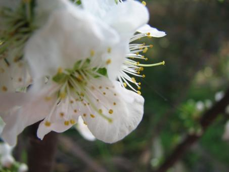Free Stock Photo of Plum flower blossom