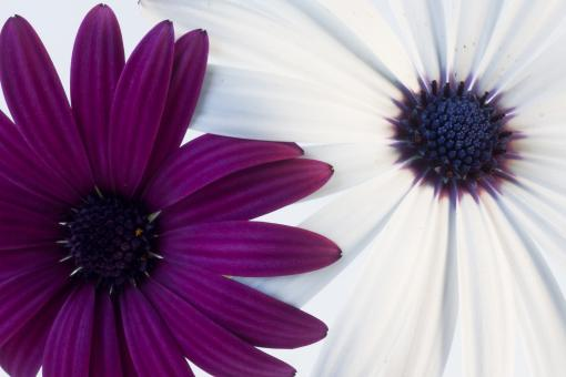 Free Stock Photo of Two daisies