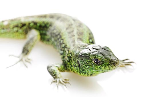 Free Stock Photo of Vivid Green Lizard