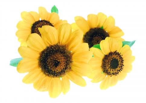 Free Stock Photo of Four Sunflowers