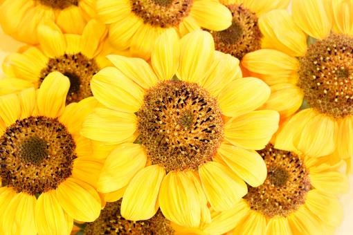 Free Stock Photo of Background of Yellow Sunflowers