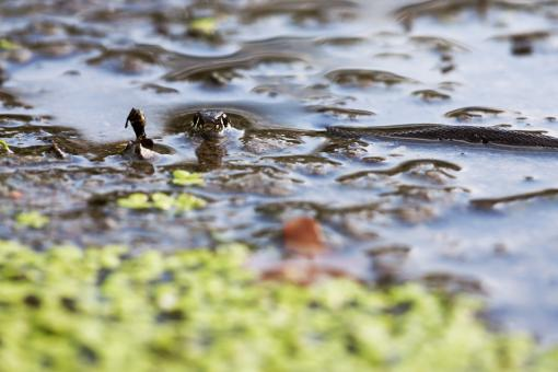 Free Stock Photo of Snake in water