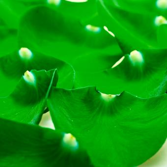 Free Stock Photo of Green petals