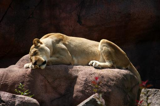 Free Stock Photo of Lioness