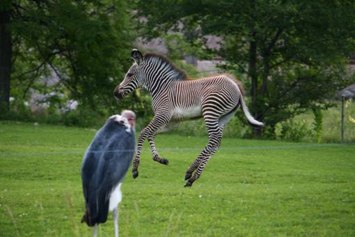 Free Stock Photo of Jumping Zebra