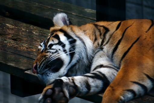 Free Stock Photo of Sleeping Tiger