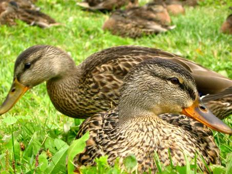 Free Stock Photo of Ducks