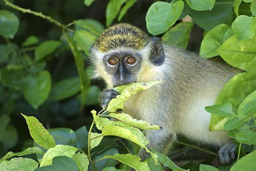 Free Stock Photo of Barbados Green Monkey