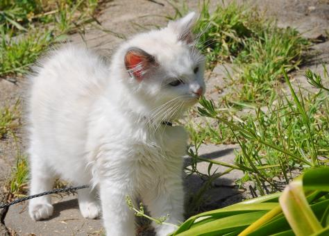 Free Stock Photo of Ragdoll Kitten Outside