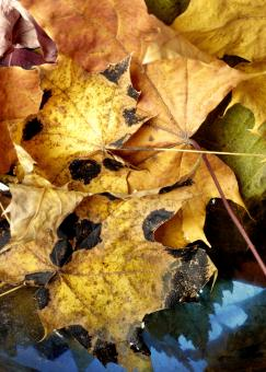 Free Stock Photo of autumn leaves