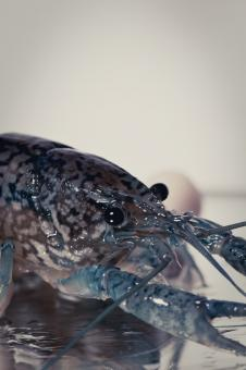 Free Stock Photo of Crayfish