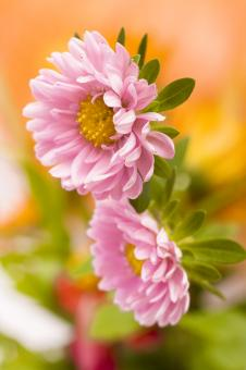 Free Stock Photo of Pink Spring Flowers