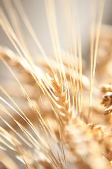 Free Stock Photo of Wheat Closeup