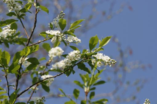 Free Stock Photo of White Blossoms - Blue Sky
