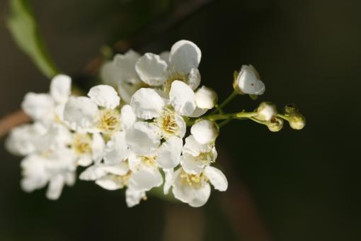 Free Stock Photo of White Blossoms