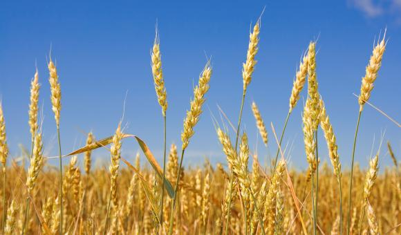 Free Stock Photo of Wheat before harvest