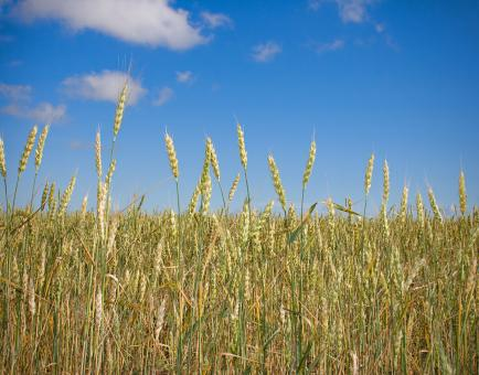Free Stock Photo of Wheat