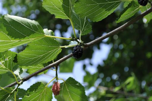 Free Stock Photo of Mulberry