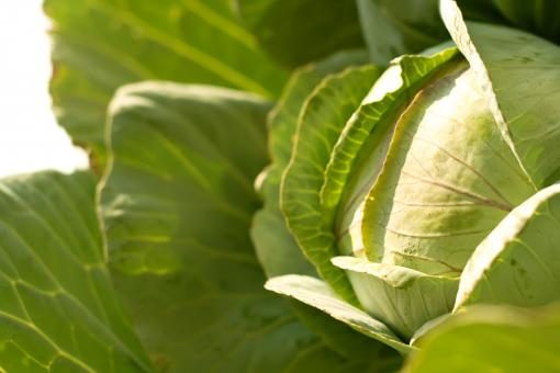 Free Stock Photo of cabbage