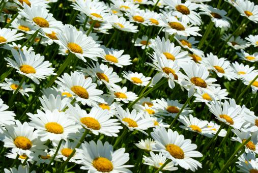 Free Stock Photo of Daisies Closeup