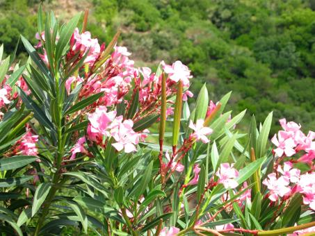 Free Stock Photo of Oleander