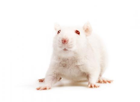 Free Stock Photo of White mouse on white background