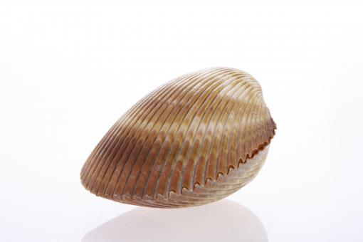 Free Stock Photo of Seashell